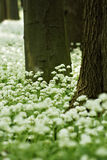 Ramsons (Allium ursinum). In a green forest with logs brown in spring on brae Stock Photo