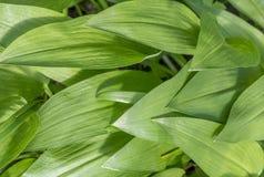 Ramsons Allium ursinum. Bavaria, Germany, Europe stock images