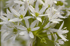 Ramsons Stock Images