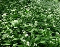 Ramsons, Allium ursinum Royalty Free Stock Images
