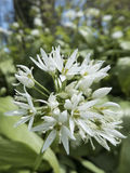 Ramsons, Allium ursinum, flowerhead with open flowers. Ramsons, Allium ursinum, also known as Wild Garlic, flowerhead with many white flowers stock images