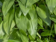Ramsons Allium ursinum. Bavaria, Germany, Europe royalty free stock images
