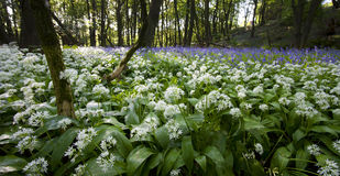 Ramsons and Bluebells Stock Images