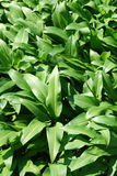 Ramsons before flowering Royalty Free Stock Photos