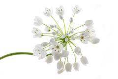 Ramsons flowers stock photos