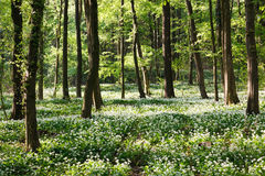 Ramsons in the forest Royalty Free Stock Photos