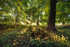 Ramsons Royalty Free Stock Images