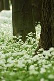 Ramsons (Lauch ursinum) Stockfoto