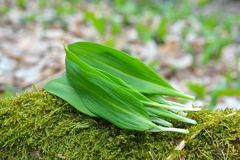Ramsons leaves, wild garlic. Leaves in forest Royalty Free Stock Photo