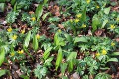 Ramsons och vinterAconite i en bokträdskog Royaltyfri Foto