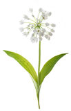 Ramsons plant isolated stock images