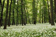 Ramsons (ursinum do Allium) Imagem de Stock Royalty Free