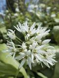 Ramsons, ursinum do Allium, flowerhead com flores abertas Imagens de Stock
