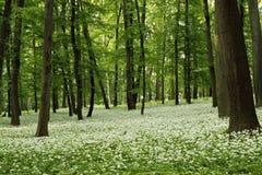 Ramsons (ursinum van het Allium) Stock Foto's