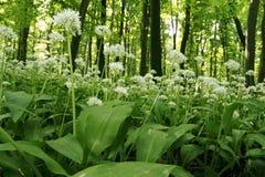 Ramsons (ursinum van het Allium) Stock Foto