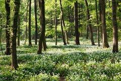 Ramsons w lesie Zdjęcia Royalty Free