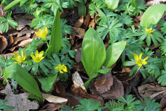 Ramsons and Winter Aconite in early spring Royalty Free Stock Photo