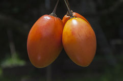 Ramy De Tomate De à ¡ rbol Fotografia Stock