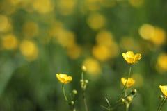 Ranúnculo amarillo Fotografía de archivo libre de regalías