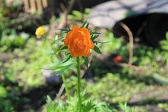 Ranúnculo anaranjado Foto de archivo libre de regalías