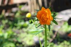 Ranúnculo anaranjado Fotos de archivo