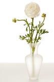 Ranúnculo blanco en florero foto de archivo libre de regalías