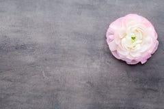 Ranúnculo bonito cor-de-rosa no fundo cinzento Imagens de Stock