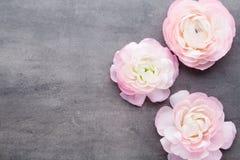 Ranúnculo bonito cor-de-rosa no fundo cinzento Fotos de Stock