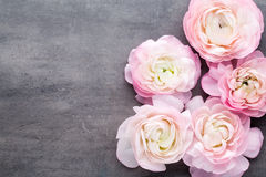 Ranúnculo bonito cor-de-rosa no fundo cinzento Fotografia de Stock Royalty Free