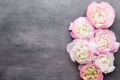 Ranúnculo bonito cor-de-rosa no fundo cinzento Imagem de Stock Royalty Free