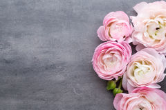 Ranúnculo bonito cor-de-rosa no fundo cinzento Foto de Stock