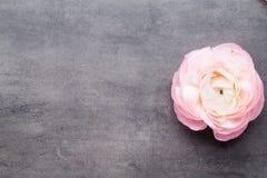 Ranúnculo bonito cor-de-rosa no fundo cinzento Imagens de Stock Royalty Free