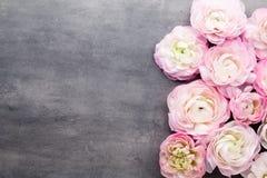 Ranúnculo bonito cor-de-rosa no fundo cinzento Imagem de Stock