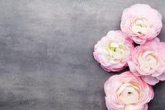 Ranúnculo bonito cor-de-rosa no fundo cinzento Foto de Stock Royalty Free