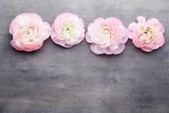Ranúnculo bonito cor-de-rosa no fundo cinzento Fotos de Stock Royalty Free