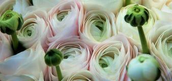 Ranúnculo cor-de-rosa macio Fotos de Stock Royalty Free