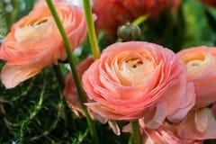 Ranúnculo, flores rosadas brillantes en el fondo de hojas verdes defocused imagen de archivo libre de regalías