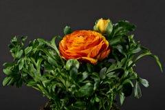 Ranúnculo Pleniflora Foto de archivo