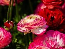 Ranúnculos adornados, brillantemente coloreados en un jardín japonés 4 foto de archivo