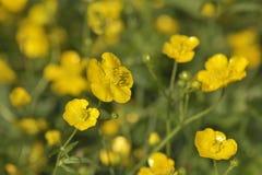 Ranúnculos amarillos en campo Imagen de archivo libre de regalías
