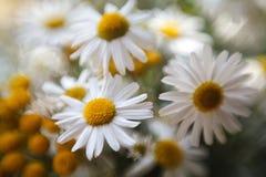 Ranúnculos amarillos en la hierba Foto de archivo libre de regalías