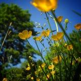 Ranúnculos amarillos que ponen en contraste contra un cielo hermoso del verano Fotos de archivo