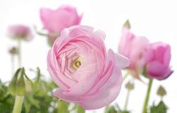 Ranúnculos rosados Imágenes de archivo libres de regalías