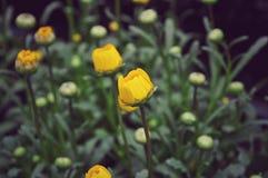 Ran?nculo amarillo hermoso fotos de archivo