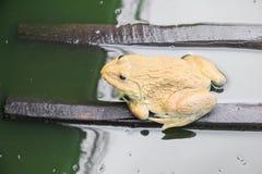 Rana in acqua Immagine Stock Libera da Diritti