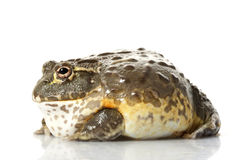 Rana africana de la rana mugidora/del duendecillo Fotos de archivo libres de regalías