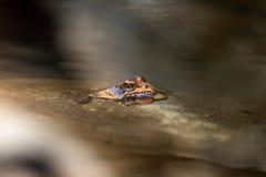Rana africana en el río Imagen de archivo libre de regalías