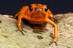 Rana anaranjada del dardo Fotografía de archivo libre de regalías