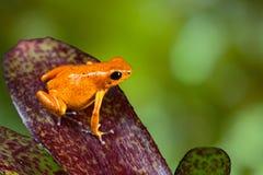 Rana anaranjada del dardo del veneno de la rana del dardo del veneno en la hoja Fotos de archivo libres de regalías