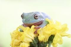 Rana, rana arbórea, animales, macro, insecto, naturaleza, reptil Foto de archivo